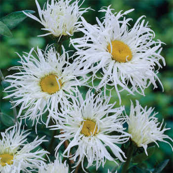 Old Court Variety Leucanthemum