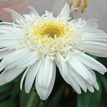 Highland White Dream Leucanthemum