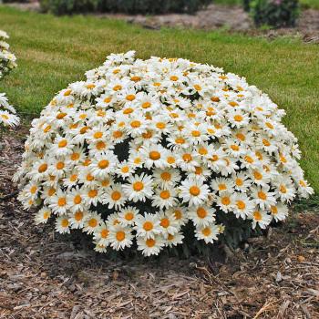 Whoops A Daisy Leucanthemum