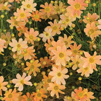 Coreopsis Sienna Sunset
