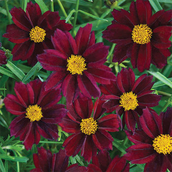 Big Bang Mercury Rising Coreopsis