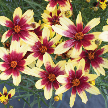 Coreopsis Satin & Lace Red Chiffon