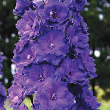 New Millennium Pagan Purples Delphinium