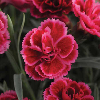 Dianthus Everlast Burgundy Blush