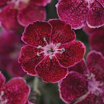 Dianthus Everlast Lavender Lace