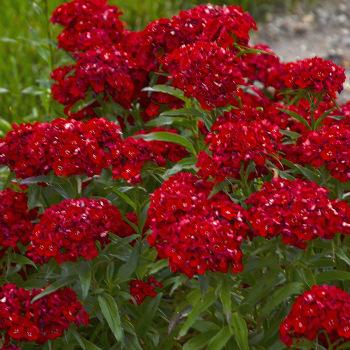 Scarlet Fever Dianthus