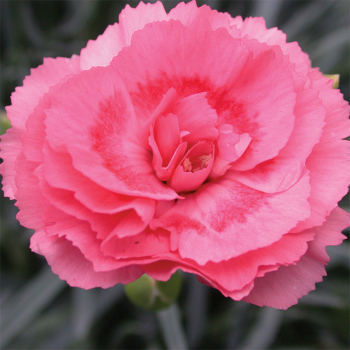 Scent First Romance Dianthus