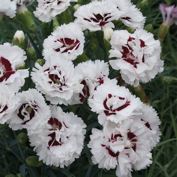 Dianthus Scent First Coconut Surprise