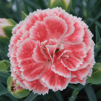 Scent First Coral Reef Dianthus