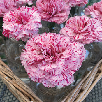 Dianthus Devon Cottage Pinball Wizard
