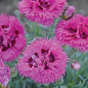 Fruit Punch Spiked Punch Dianthus