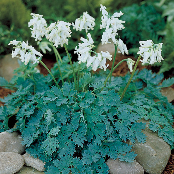 Ivory Heart Dicentra