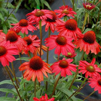 Echinacea Kismet Red Hybrid