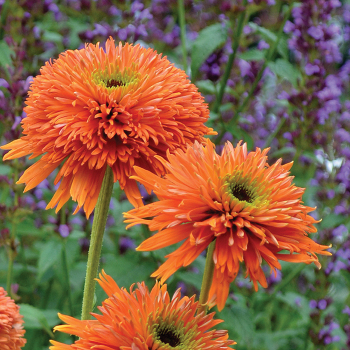 Colorburst Orange Echinacea