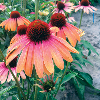 Echinacea Butterfly Rainbow Marcella