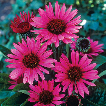 Fatal Attraction Echinacea