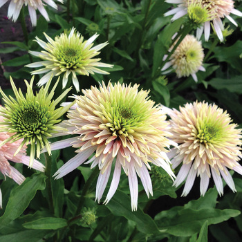 Conefections Cherry Fluff Echinacea