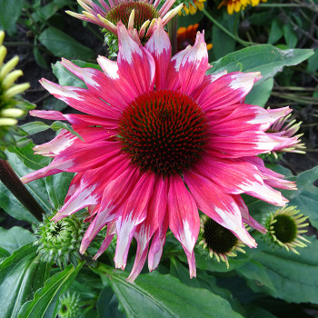 Playful Meadow Mama Echinacea