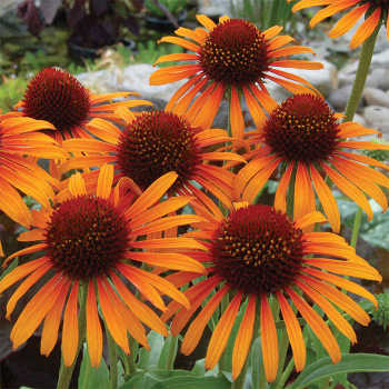 Flame Thrower Echinacea
