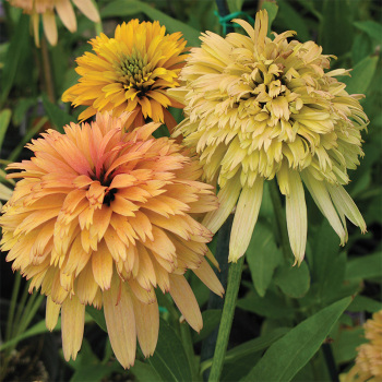 Echinacea Conefections Marmalade