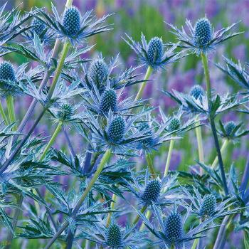 Big Blue Eryngium