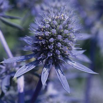 Blue Glitter Eryngium