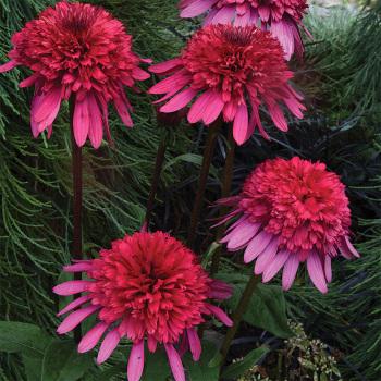 Echinacea Supreme Elegance