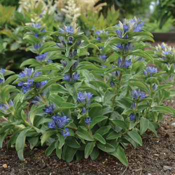 Gentiana Blue Cross