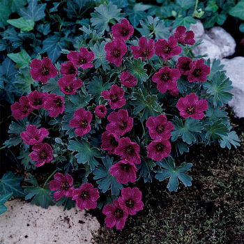 Purple Pillow Geranium