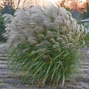 Grass Miscanthus Autumn Anthem