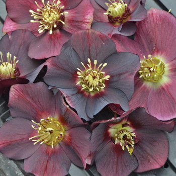 Honeymoon Rome In Red Helleborus