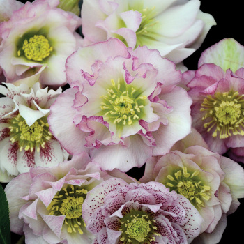 Wedding Party Flower Girl Helleborus