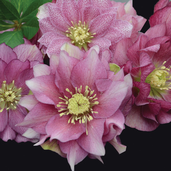 Wedding Party Maid Of Honor Helleborus