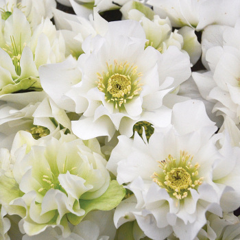 Wedding Party Wedding Bells Helleborus