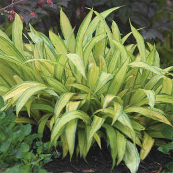Grass Carex Banana Boat