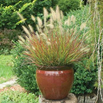 Grass Pennisetum Burgundy Bunny