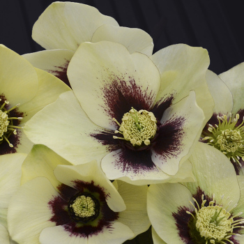 Honeymoon Spanish Flare Helleborus