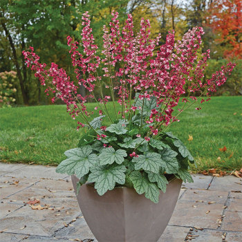 Heuchera Berry Timeless