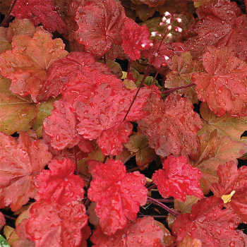 Autumn Leaves Heuchera