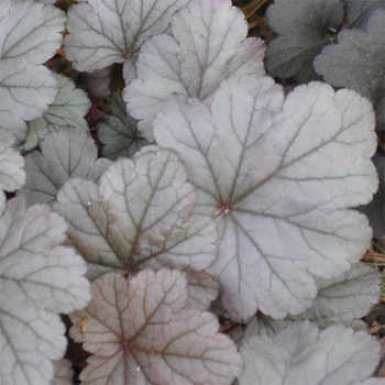 Stainless Steel Heuchera