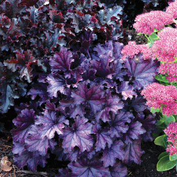 Heuchera Forever Purple
