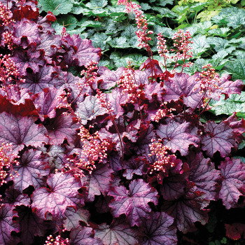 Little Cuties Sugar Berry Heuchera