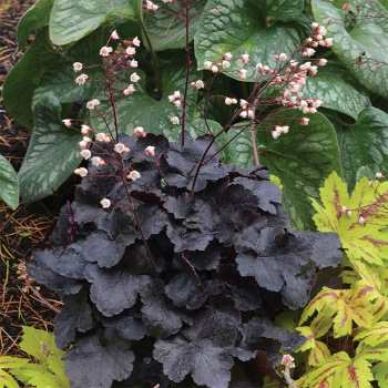 Little Cutie Coco Heuchera