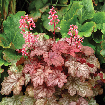 Little Cutie Ginger Snap Heuchera