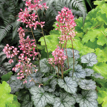 Little Cutie Peppermint Heuchera