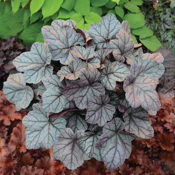 Rose Quartz Heuchera
