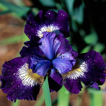 Siberian Iris Jewelled Crown