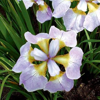 Siberian Iris Rikugi Sakura