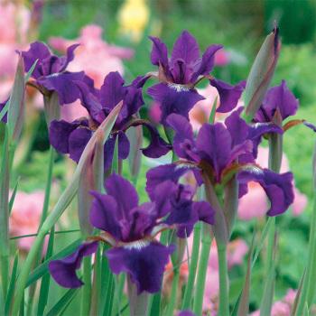 Siberian Iris Ruffled Velvet