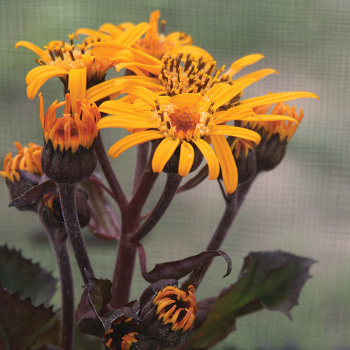 King Kong Ligularia